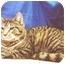 Photo 2 - Ocicat Cat for adoption in New York, New York - Tarzen