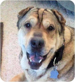 Shar Pei Dog for adoption in Barnegat Light, New Jersey - Rebel