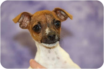 Chihuahua Mix Puppy for adoption in Broomfield, Colorado - GIDEON