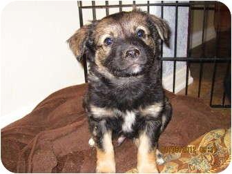 Australian Shepherd/Shepherd (Unknown Type) Mix Puppy for adoption in Burbank, California - WOLFIE