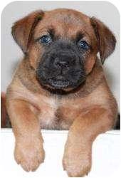 Boxer Mix Puppy for adoption in Calumet City, Illinois - Gianni