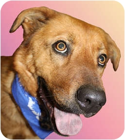 Golden Retriever/Chow Chow Mix Dog for adoption in Cincinnati, Ohio - Rascal