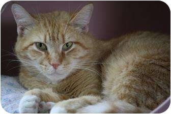 Domestic Shorthair Cat for adoption in Anderson, Indiana - Carmel