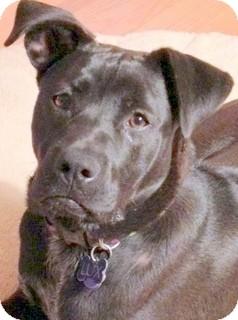 Labrador Retriever/Boxer Mix Dog for adoption in Los Angeles, California - Marlowe *VIDEO*