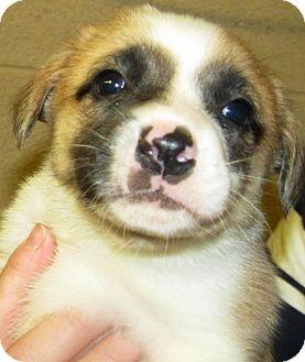 St. Bernard/Labrador Retriever Mix Puppy for adoption in Oswego, Illinois - New Years Babies Midnite