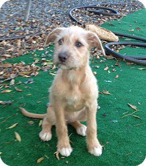 Terrier (Unknown Type, Medium) Puppy for adoption in San Marcos, California - Rosie