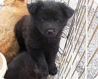 Border Collie Mix Puppy for adoption in Rochester, New Hampshire - Benton
