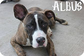 Pit Bull Terrier/Boxer Mix Dog for adoption in Chicago, Illinois - Albus