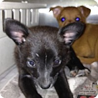 Adopt A Pet :: Ramone - CHESTERFIELD, MI