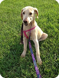 Labrador Retriever Mix Puppy for adoption in Portsmouth, New Hampshire - Porcia