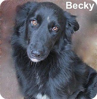 Border Collie/Labrador Retriever Mix Dog for adoption in Tahlequah, Oklahoma - Becky