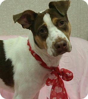 Pointer/Labrador Retriever Mix Dog for adoption in Savannah, Georgia - Brucebruce