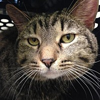 Domestic Shorthair Cat for adoption in Chicago, Illinois - BeBe