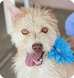 Wheaten Terrier/Terrier (Unknown Type, Medium) Mix Dog for adoption in Canoga Park, California - Tanner