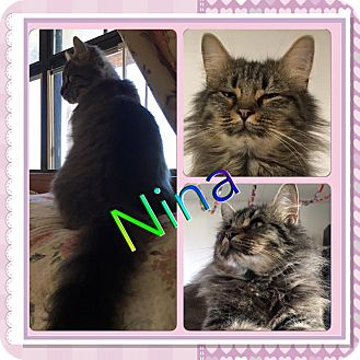 Domestic Longhair Cat for adoption in Ravenna, Texas - Nina