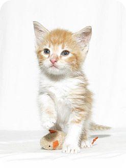 Domestic Shorthair Kitten for adoption in Lufkin, Texas - Honey
