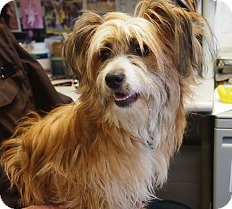 Yorkie, Yorkshire Terrier/Dachshund Mix Puppy for adoption in Rockville, Maryland - Rollo - PENDING