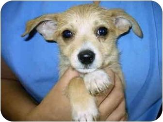 Chihuahua/Dachshund Mix Puppy for adoption in Lyman, South Carolina - Cole(adoption pending)