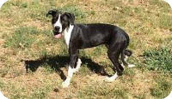 Boxer/Border Collie Mix Dog for adoption in Gridley, California - Molly