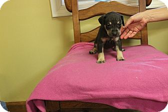 Shepherd (Unknown Type) Mix Puppy for adoption in Oakville, Connecticut - Jetta