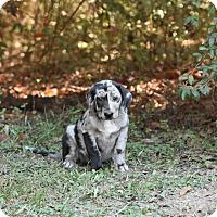 Adopt A Pet :: feena - South Dennis, MA