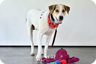Labrador Retriever Mix Dog for adoption in Victoria, British Columbia - Bongo