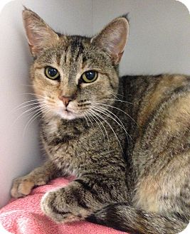Domestic Shorthair Cat for adoption in Hendersonville, North Carolina - Joyce