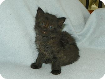 Domestic Mediumhair Kitten for adoption in Fort Pierce, Florida - Bitsy