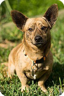 Welsh Corgi Mix Dog for adoption in Green Bay, Wisconsin - Wimbledon