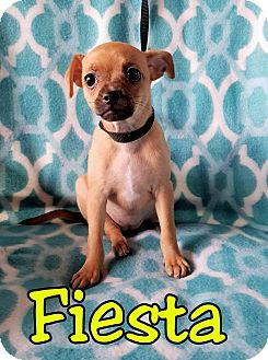 Chihuahua Mix Puppy for adoption in Buffalo, New York - Fiesta