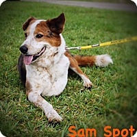 Adopt A Pet :: Sam Spot - West Palm Beach, FL