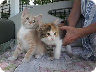 Calico Kitten for adoption in Arlington, Virginia - Camry & Casey
