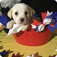 Adopt A Pet :: Priscilla - New Port Richey, FL