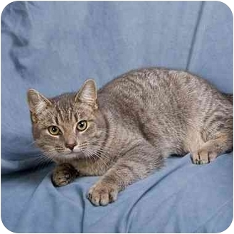 Domestic Shorthair Cat for adoption in Anna, Illinois - MARTY