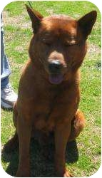 Shiba Inu Mix Dog for adoption in kennebunkport, Maine - Taxi - Foster Needed!