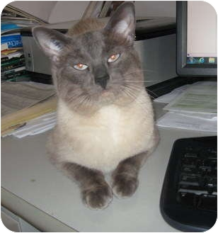 Siamese Cat for adoption in Duncan, British Columbia - Bobby Blue
