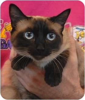 Siamese Cat for adoption in Las Vegas, Nevada - Wanda the Wonder