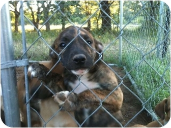 Shepherd (Unknown Type) Mix Puppy for adoption in White Settlement, Texas - Electra