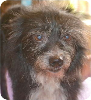 Yorkie, Yorkshire Terrier/Schnauzer (Miniature) Mix Dog for adoption in Greensboro, North Carolina - Polly