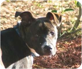 American Staffordshire Terrier Mix Dog for adoption in Smithfield, North Carolina - Jake