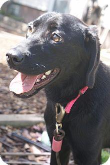 Labrador Retriever Mix Puppy for adoption in New Castle, Pennsylvania - Penelope