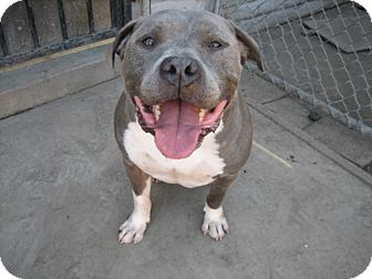 American Staffordshire Terrier/American Pit Bull Terrier Mix Dog for adoption in Los Angeles, California - ROCKY