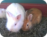 Lionhead Mix for adoption in Salamanca, New York - Sugar-Dwarf Lionhead Bunny!  A