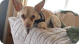 Chihuahua Puppy for adoption in Mount Gretna, Pennsylvania - Wingnut - (Koda)