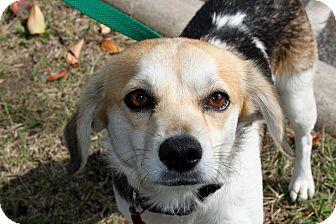 Beagle Mix Dog for adoption in Salem, New Hampshire - SISSY