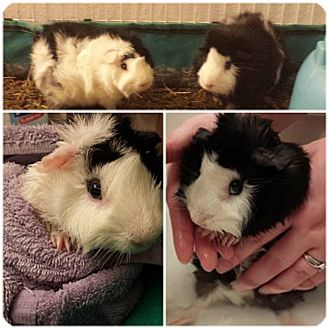 Guinea Pig for adoption in Brooklyn Park, Minnesota - Anakin & Stinson