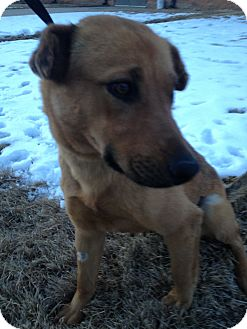 Shepherd (Unknown Type) Mix Puppy for adoption in Westminster, Colorado - Skinney