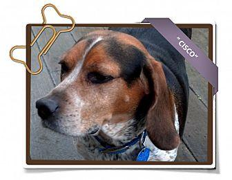 Beagle Dog for adoption in Portland, Oregon - Cisco