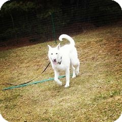 German Shepherd Dog Dog for adoption in Rhinelander, Wisconsin - Mack Henry