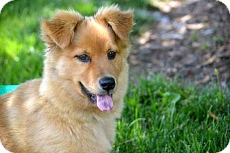 Australian Shepherd Mix Puppy for adoption in Salem, New Hampshire - BOY SCOUT